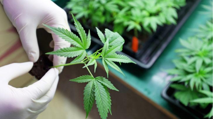 marihuana-1-728x409.jpg
